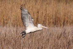 Далматинский пеликан (crispus Pelecanus) Стоковые Изображения
