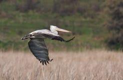 Далматинский пеликан (crispus Pelecanus) Стоковые Фотографии RF