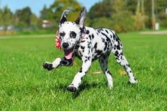 Далматинский щенок бежать через поле Стоковое Фото