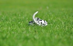 Далматинский щенок кладя вниз в зеленую траву Стоковые Изображения RF