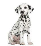 Далматинское изолированное усаживание щенка, Стоковые Фотографии RF