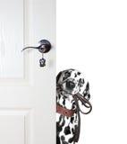 Далматин смотрит к поводку от за двери Стоковое фото RF