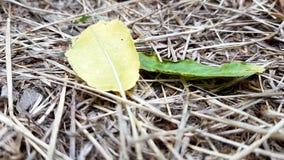 Две осенние листья - желтая и зеленая - лежат на сухой серой траве видеоматериал