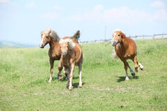 Двигать 3 haflingers Стоковые Фото