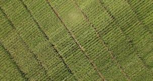 Двигающ вверх бесконечные пшеничные поля осмотренные сверху видеоматериал