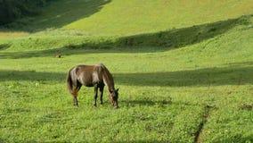 Двигающ вокруг красивую мощную лошадь жеребца темного коричневого цвета стоя на луге field и pasturing на сногсшибательном золото акции видеоматериалы