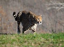 движение гепарда Стоковые Изображения RF