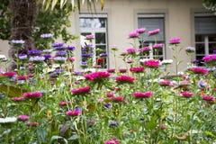 Движение и движение красочной маргаритки цветут от ветра на саде Стоковые Фотографии RF