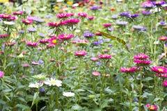 Движение и движение красочной маргаритки цветут от ветра на саде Стоковые Изображения
