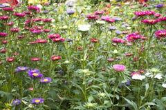 Движение и движение красочной маргаритки цветут от ветра на саде Стоковое Изображение RF
