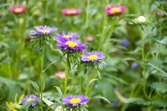Движение и движение красочной маргаритки цветут от ветра на саде Стоковая Фотография