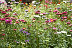 Движение и движение красочной маргаритки цветут от ветра на саде Стоковое Фото