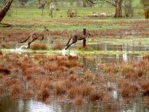 движение кенгуруов Стоковые Изображения RF