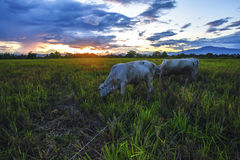 Движение коров ест траву на заходе солнца Стоковые Изображения