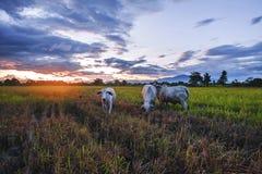 Движение коров ест траву на заходе солнца Стоковые Изображения RF