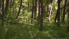 Движение косое, зеленый лес летом, днем акции видеоматериалы