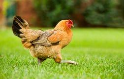 движение курицы стоковое фото rf