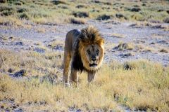 движение льва мыжское Стоковые Фотографии RF