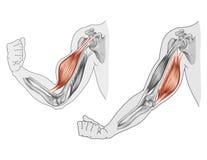Движение мышц рукоятки и руки бесплатная иллюстрация