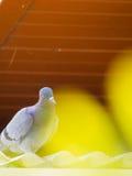 Движение положения голубя Стоковые Изображения RF