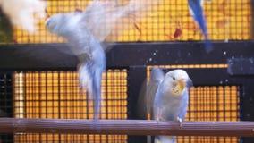 Движение причудливого длиннохвостого попугая в клетке внутри магазина petsmart акции видеоматериалы