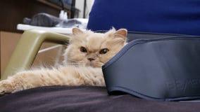 Движение сонного персидского кота на стуле пока делающ терапию Bemer дома сток-видео
