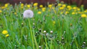 Движение стрельбы макроса видео- blossoming сухого одуванчика цветет от ветра сток-видео