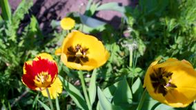 Движение стрельбы макроса видео- blossoming тюльпана цветет конец-вверх от ветра сток-видео