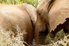 Движение - слон Буша африканца Стоковые Изображения RF