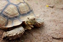 Движение черепахи медленное в зоопарке Стоковые Изображения