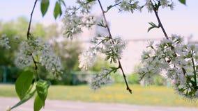 Движения киносъемки макроса конец-вверх цветений яблока видео- blossoming от ветра видеоматериал