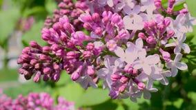 Движения стрельбы макроса конец-вверх вишневых цветов видео- blossoming от ветра видеоматериал