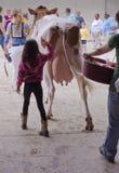 Двиньте корову Стоковое Фото