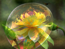Двойная лилия воды цвета Стоковое Фото