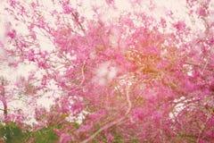 двойная экспозиция, конспект мечтательный и неясное изображение дерева вишневых цветов пинка весны Селективный фокус Фильтрованны стоковые фото