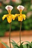 Двойник желтых дам-тапочек, красивых цветков Таиланда Стоковая Фотография