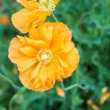 Двойник 1 золота мака оранжевый Стоковая Фотография
