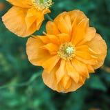 Двойник 2 мака золотой оранжевый стоковое фото