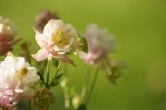 Двойник розовый Columbine Winky стоковая фотография