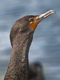 двойник crested cormorant Стоковое Изображение RF