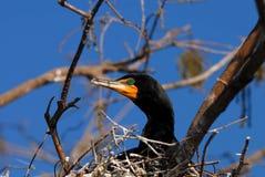 двойник crested cormorant стоковое изображение