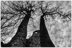 Двойное дерево Стоковое фото RF