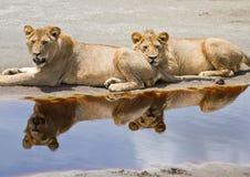 двойное отражение льва Стоковая Фотография