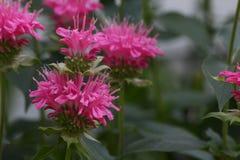 Двойной бальзам пчелы цветения стоковые фото