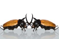 Двойной большой horned жук. Стоковые Изображения