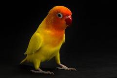 Двойной желтый неразлучник, птица попугая, птица длиннохвостого попугая Стоковые Изображения