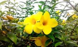 Двойной желтый цветок Стоковые Изображения RF