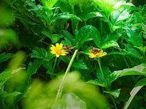 Двойной коричневый поиск бабочки нектар Стоковое фото RF