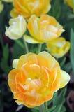 Двойной тюльпан цветеня Стоковая Фотография