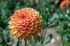 Двойной цветок Dhalia Стоковые Изображения